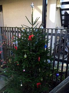ドイツトウヒクリスマスツリーに